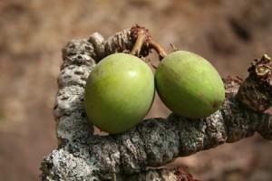 Le Cupuacu antioxydant naturel puissant superfruit